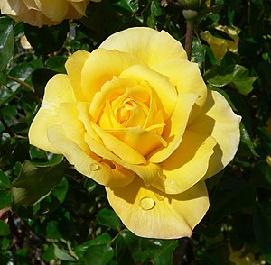 A photo of a Rosa Gold Glow taken by User:Stan Shebs.