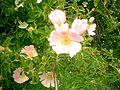 Rosa pimpinellifolia Flowers 23April2006 SierradeAlfacar.jpg