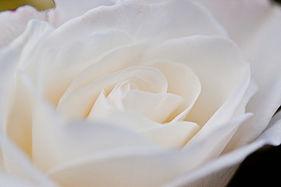 Rose, Cl. Iceberg (Schneewittchen) - Flickr - nekonomania.jpg
