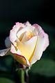 Rose, Garden Party - Flickr - nekonomania (1).jpg