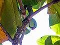 Rose-ringed parakeet (24302593118).jpg