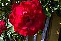 Rose (9303837918).jpg