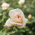 Rose Crocus Rose バラ クロッカスローズ (7943751942).jpg