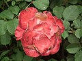 Rose from Lalbagh flower show Aug 2013 8535.JPG