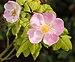 Rose shrub (70355).jpg