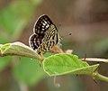 Rounded Pierrot (Tarucus nara)- Female on Zizyphus species in Hyderabad, AP W IMG 7964.jpg