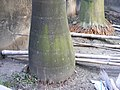 Royal Palm Trunk.jpg
