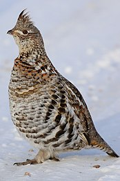 Ruffed Grouse (32036698415).jpg