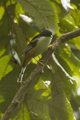 Rufous-backed Sibia - Eaglenest - India (34352285021).jpg