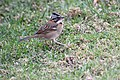 Rufous-collared Sparrow (Zonotrichia capensis) (4857021526).jpg