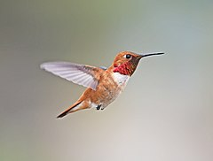 Rufous Hummingbird, male 01.jpg