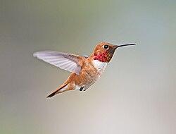 Rufous Hummingbird, male 01.jpg