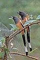 Rufous treepie (Dendrocitta vagabunda vagabunda) Jahalana 4.jpg