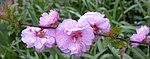 Ruhland, Grenzstr. 3, Mandelbäumchen, Zweig mit Blüten, Frühling, 06.jpg