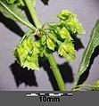 Rumex stenophyllus sl5.jpg