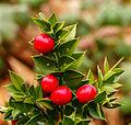 Ruscus aculeatus 'John Redmond'. Locatie, Tuinreservaat Jonkervallei 01.jpg