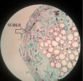 Súber da raiz de Gossypium sp..png