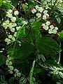 SDC11310 - Clerodendrum thomsoniae (Schicksalsbaum).JPG