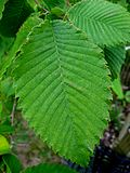 SHHG Rock Elm leaf.jpg