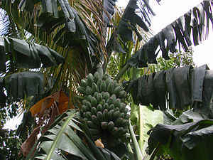 Saba banana - Saba bananas typically grow to very large sizes.