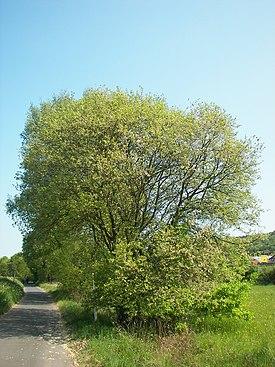 Salix caprea 032.jpg