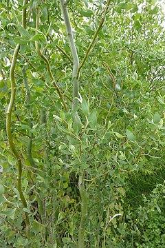 Salix matsudana SCA-03467.jpg