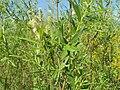 Salix viminalis 008.jpg