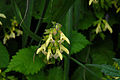 Salvia nipponica 070924b.JPG