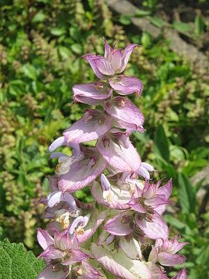 Salvia sclarea - Image: Salvia sclarea 02