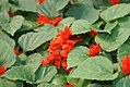 Salvia splendens Vista Red 1zz.jpg
