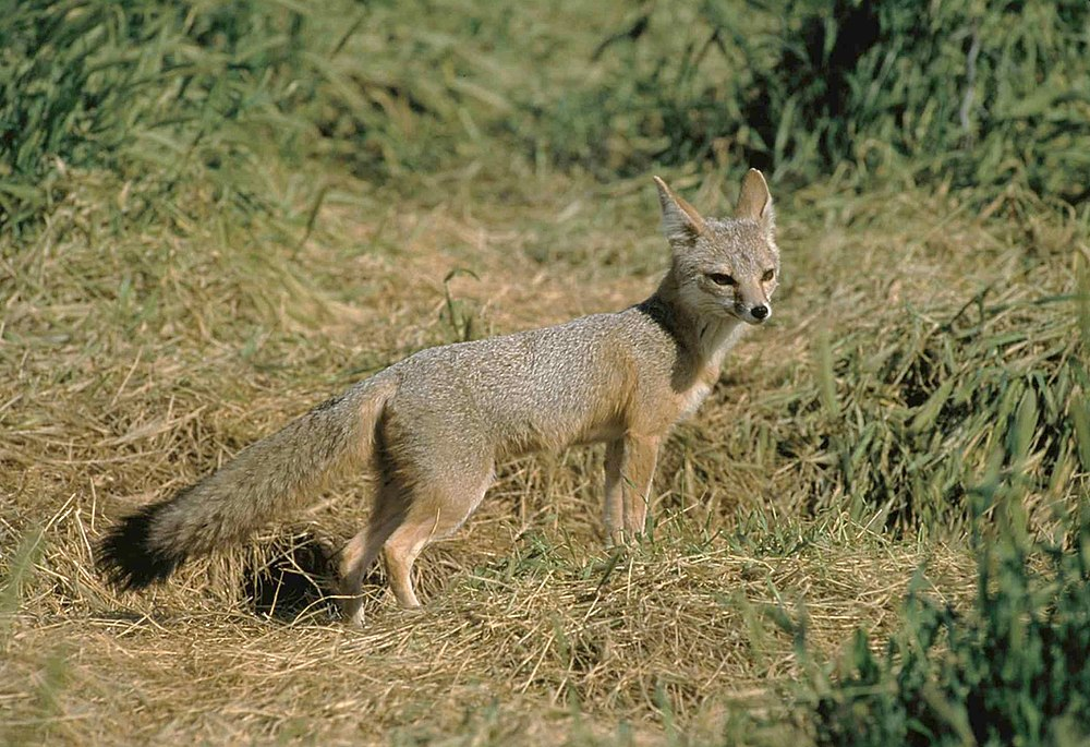 A Kit fox gets as old as 20 years