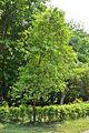 Santalum album - Indian Botanic Garden - Howrah 2013-03-31 5743.JPG