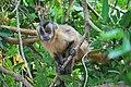 Sapajus libidinosus paraguayanus 3.jpg