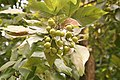 Sapindus Saponaria - Fruit 01.jpg