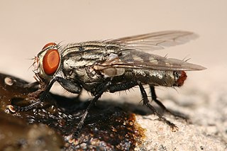 Flesh fly family of insects
