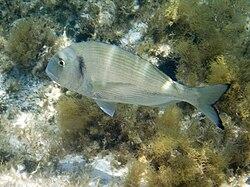 Rêver de poisson  dans POISSON 250px-SardinianFish