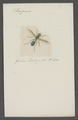 Sargus - Print - Iconographia Zoologica - Special Collections University of Amsterdam - UBAINV0274 039 01 0014.tif