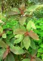 Saurauia madrensis 1.jpg