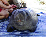 Saving our underwater world one manatee at a time 131113-A-SP213-900.jpg