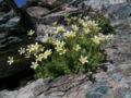 Saxifraga bryoides Moosartiger Steinbrech.JPG