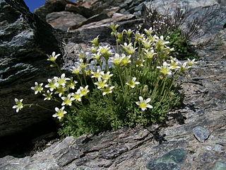 <i>Saxifraga bryoides</i> species of plant