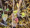 Saxifraga granulata in Aveyron (2).jpg