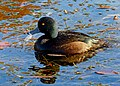 Scaup NZ (Daffy Duck) FZ200. (18888143941).jpg
