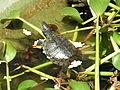 Schildkröte im Wasser.JPG