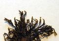 Schistidium apocarpum resize.jpg