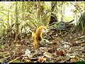 Sciurus spadiceus (frame).jpg