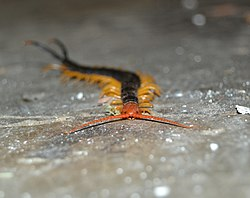 Scolopendra heros, black body and red head (10530460306).jpg