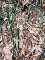 Scouring-rush horsetail - Flickr - brewbooks (1).jpg
