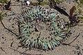 Sea anemone (28310050457).jpg
