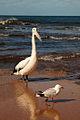 Seagull ruining portrait (3233056781).jpg